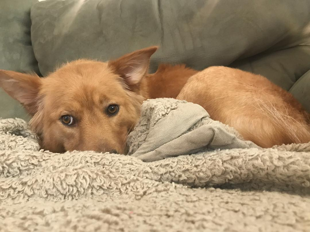 Rosie the golden retriever mix was abandoned at a shelter