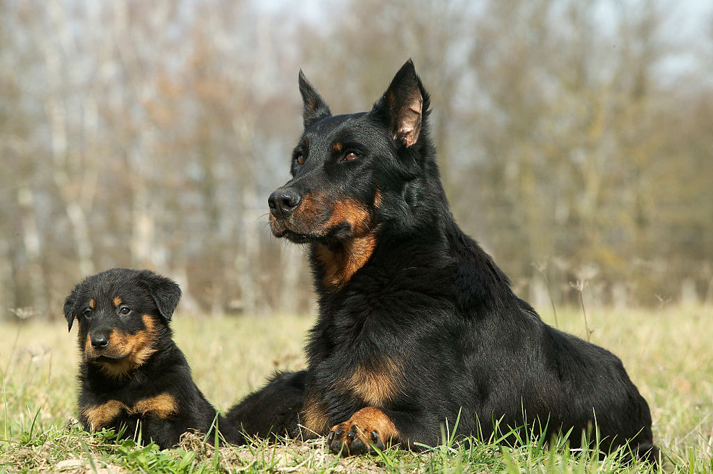 A Beauceron stares into the distance.
