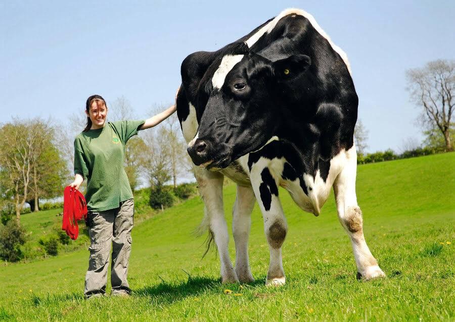 cow-59829
