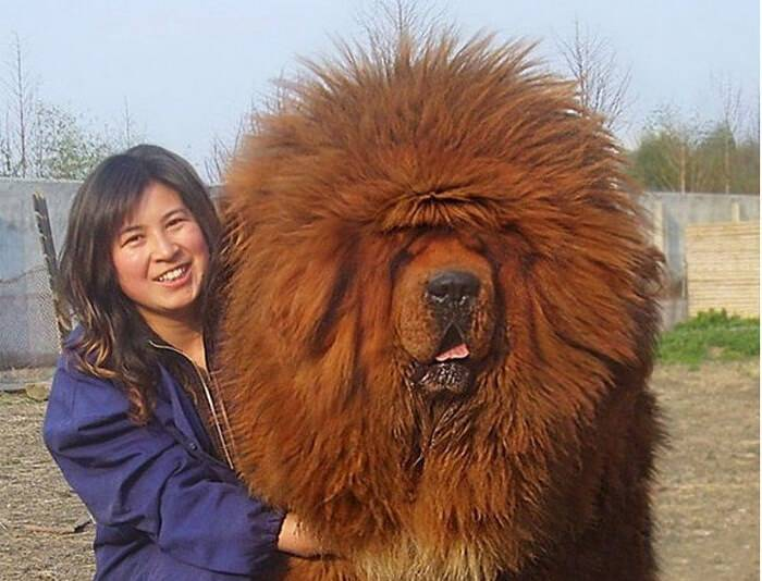 mastiff-51441