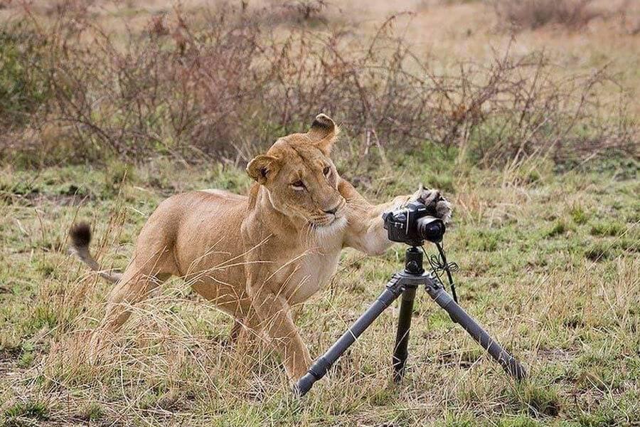lion-destroys-camera-26479