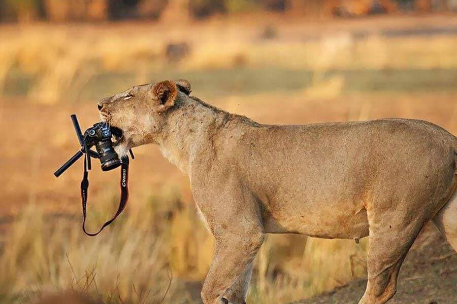 lion-steals-camera-from-photographer-25308