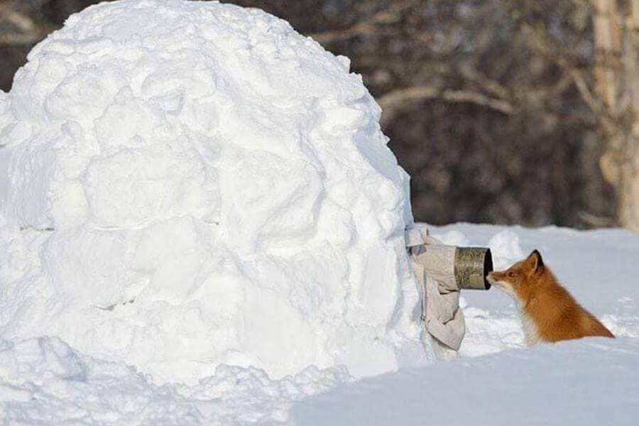 snow-fox-is-ready-for-his-closeup-79523