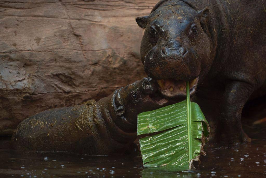 hippo-angry-42702