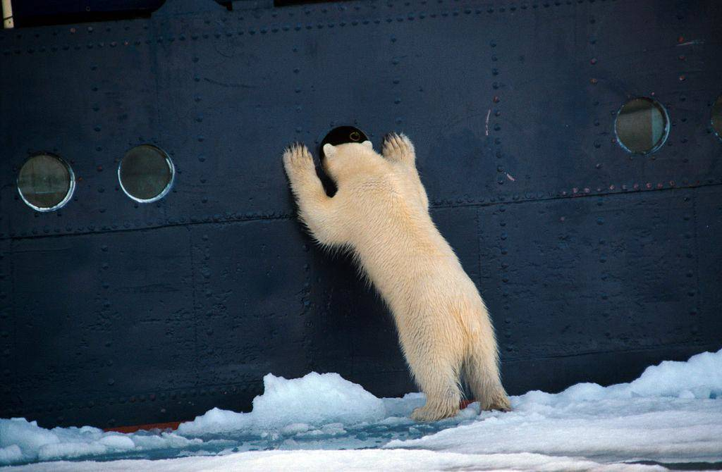 polar-bear-63866