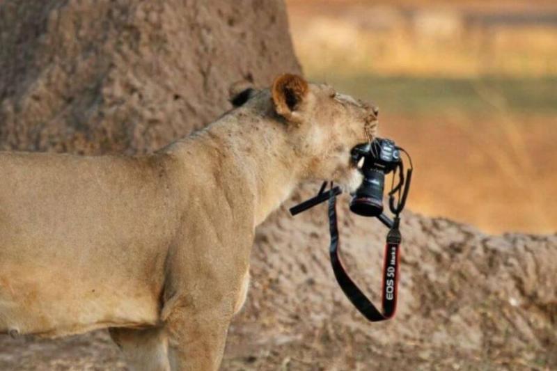 tiger-with-camera.jpg-18446