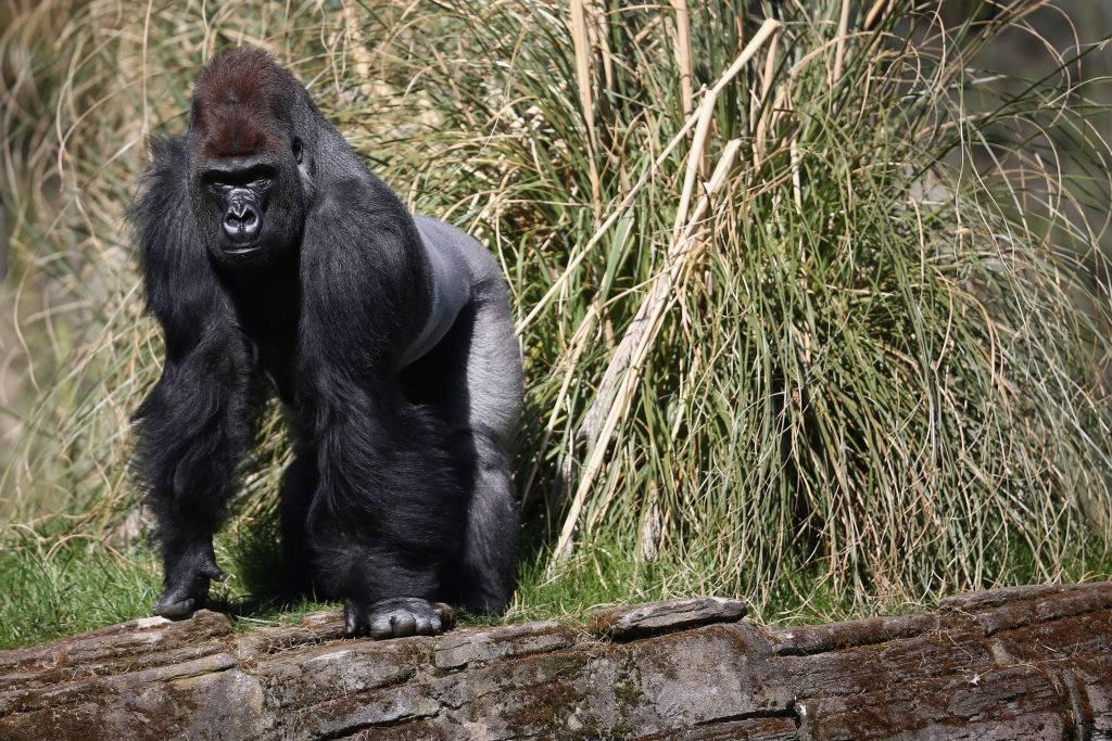 a gorilla standing by tall grass