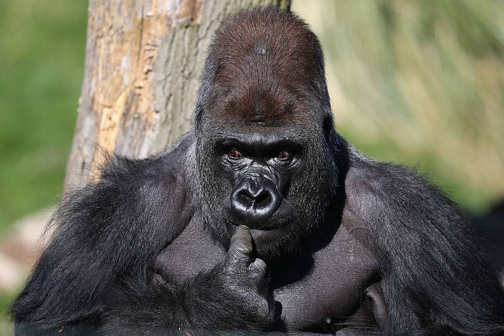 a gorilla looking around outside