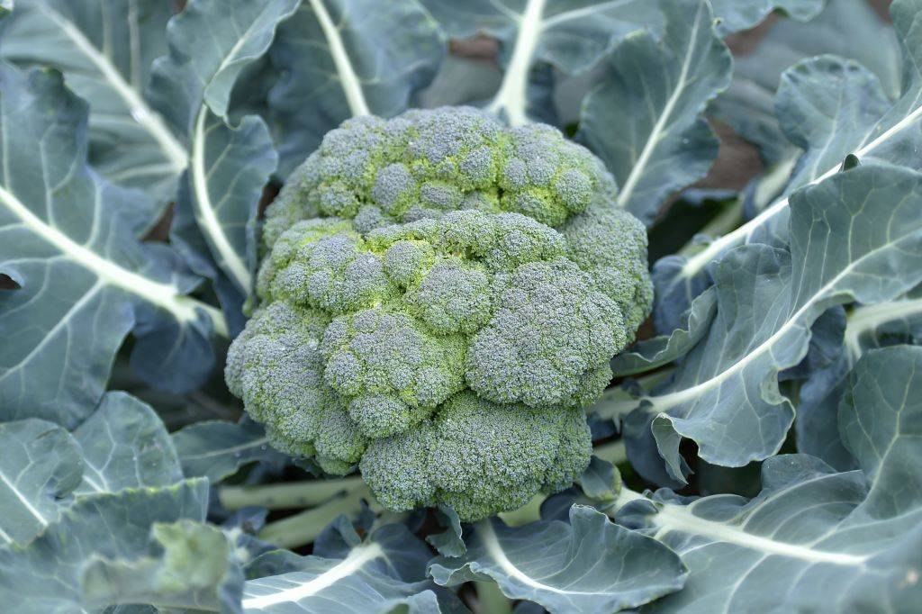 head of broccoli surrounded by green leaves