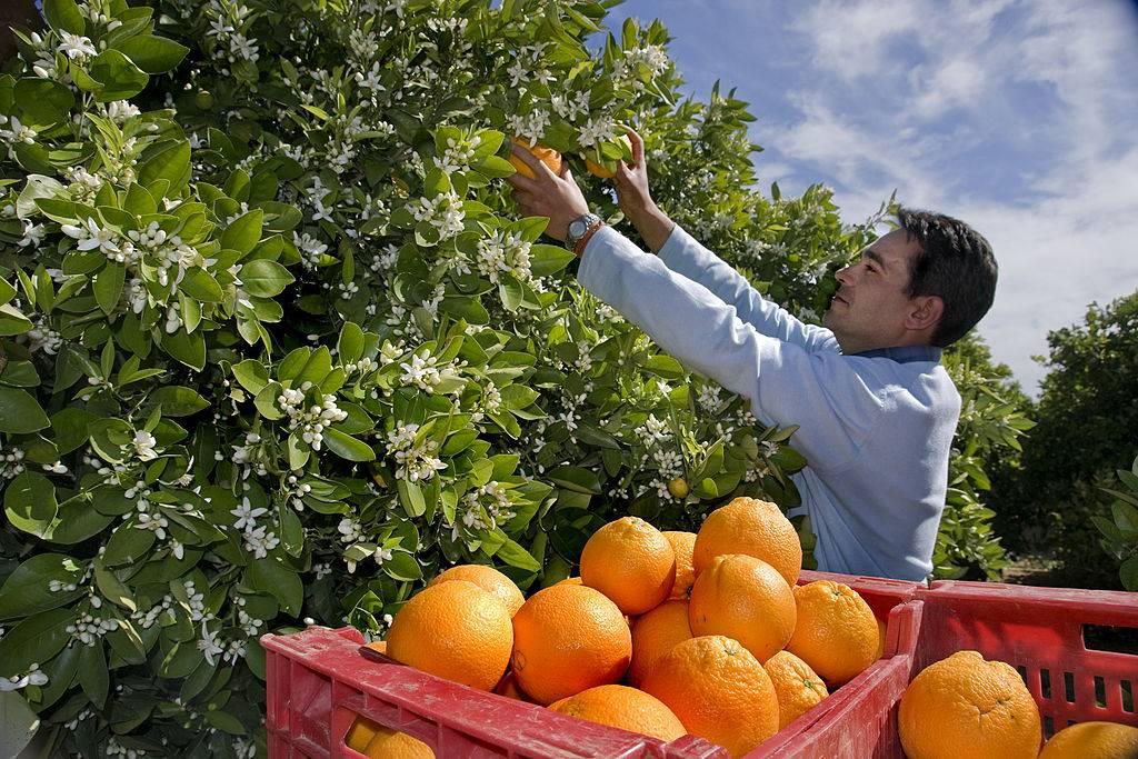 man picking oranges off a tree