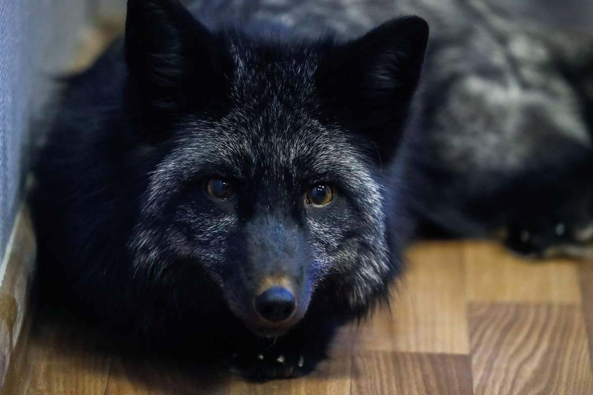 Domesticated fox